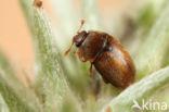 Epuraea melanocephala