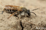 Wikkebij (Andrena lathyri)