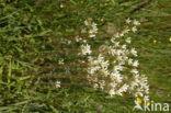 Knolsteenbreek (Saxifraga granulata)