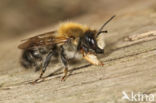 Megachile nigriventris
