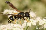 Gymnomerus laevipes