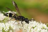 Symmorphus connexus