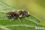 Zwartgespoorde houtmetselbij (Osmia leucomelana)