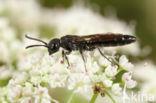 kleine knotswesp (Sapygina decemguttata)