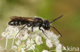 Halfgladde dwergzandbij (Andrena semilaevis)