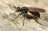 Gemeine Mordfliege (Choerades marginata)