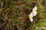 Kruipende moerasweegbree (Echinodorus repens)