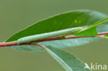 Geringde spikkelspanner (Cleora cinctaria)