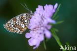 Woudparelmoervlinder (Melitaea diamina)