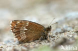 Grote erebia (Erebia euryale)