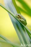 Europese boomkikker (Hyla arborea)