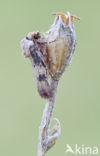 Puta-uil (Agrotis puta)
