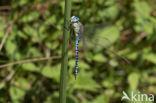 Zuidelijke glazenmaker (Aeshna affinis)