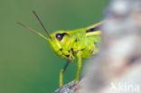 Moerassprinkhaan (Stethophyma grossum)