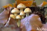 Dwergzwavelkop (Psilocybe fascicularis var. pusilla)
