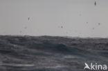 Grote Pijlstormvogel (Puffinus gravis)