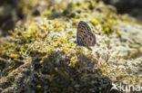 Tijgerblauwtje (Lampides boeticus)