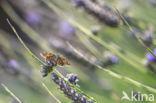 Kaasjeskruiddikkopje (Carcharodus alceae)
