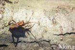 Bladpootrandwants (Leptoglossus occidentalis)