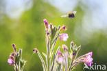 Europese Honingbij (Apis mellifera mellifera)
