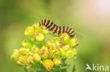 Sint-jacobsvlinder (Tyria jacobaeae)