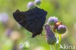 Dagpauwoog (Inachis io)