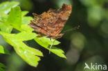 Gehakkelde aurelia (Polygonia c-album)