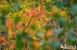 Vliegenzwam (Amanita muscaria)