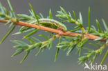 Jeneverbesspanner (Thera juniperata)
