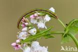 Glanzende marmeruil (Pseudeustrotia candidula)