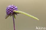 Dwarsbanddwergspanner (Eupithecia subumbrata)