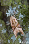 Agaatvlinder (Phlogophora meticulosa)