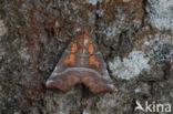 Roesje (Scoliopteryx libatrix)
