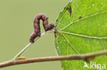 Ascotis selenaria