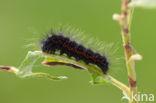 Veenheide-uil (Acronicta menyanthidis)