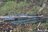 Gewone kopergroenbekerzwam (Chlorociboria aeruginascens)