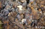 Eikhaas (Grifola frondosa)