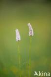 Adderwortel (Persicaria bistorta)