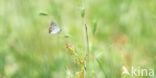 Violette vuurvlinder (Lycaena alciphron)