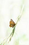 Sleutelbloemvlinder (Hamearis lucina)