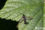 Bessenglasvlinder (Synanthedon tipuliformis)