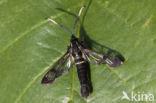 Elzenwespvlinder (Synanthedon spheciformis)
