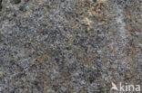 Gestippeld schriftmos (Opegrapha vermicellifera)