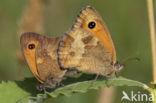 Oranje zandoogje (Pyronia tithonus)