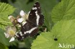 Kleine IJsvogelvlinder (Limenitis camilla)