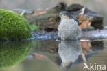 Sperwer (Accipiter nisus)