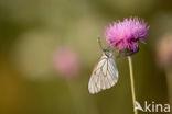 Groot geaderd witje (Aporia crataegi)