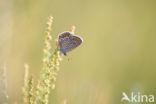 Kroonkruidblauwtje (Lycaeides argyrognomon)