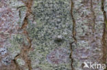 limoenschriftmos (alyxoria viridipruinosa)