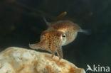 Gewone Dwerginktvis (Sepiola atlantica)